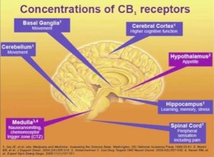 The Endocannabinoid System and You