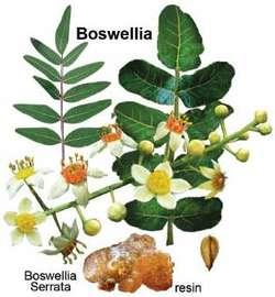 Boswellia Frankincense